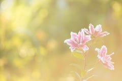 Lírio Flores brilhantes do verão no jardim luxúria Cartão da mola para Fotos de Stock