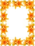 Lírio-frame amarelo Fotografia de Stock Royalty Free