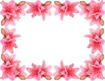 Lírio-frame cor-de-rosa Fotografia de Stock