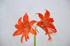 Lírio (Hippeastrum-Amaryllidaceae Fotografia de Stock Royalty Free