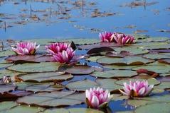 Lírio na água Fotografia de Stock Royalty Free