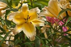 Lírio no jardim. Imagem de Stock
