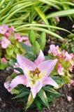 Lírio no jardim. Imagem de Stock Royalty Free