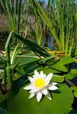 Lírio no lago Imagem de Stock