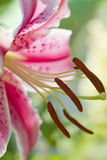 Lírio oriental do Stargazer - Lilium imagem de stock