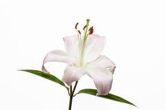 Lírio Pétala aberta da flor bonita Flor branca brilhante da flor Flor de florescência no fundo branco isolado imagem de stock