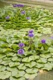 Lírio roxo dos lótus ou de água com folhas verdes fotografia de stock