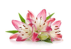 Lírio três cor-de-rosa Imagens de Stock