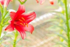 Lírio vermelho Fotos de Stock Royalty Free