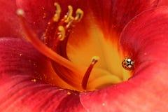 Lírio vermelho com joaninha Foto de Stock