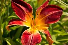 Lírio vermelho e amarelo Imagem de Stock Royalty Free