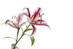 Lírio vermelho e branco Imagens de Stock Royalty Free