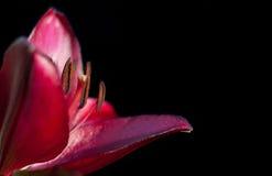 Lírio vermelho em um fundo preto Imagens de Stock Royalty Free