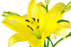Lírios amarelos Foto de Stock Royalty Free