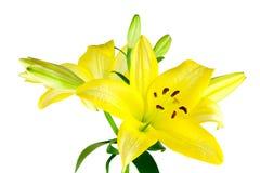 Lírios amarelos Imagens de Stock