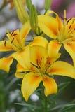 Lírios amarelos Fotografia de Stock