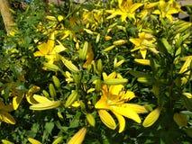 Lírios amarelos Imagens de Stock Royalty Free