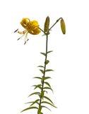 Lírios amarelos asiáticos Fotos de Stock