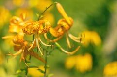 Lírios amarelos com um foco macio em um fundo borrado bonito Foco seletivo foto de stock royalty free