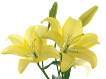 Lírios amarelos em uma filial Foto de Stock