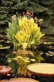 Lírios amarelos na flor Fotografia de Stock Royalty Free