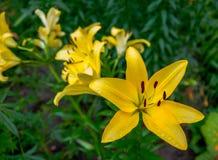 Lírios amarelos no jardim Fotografia de Stock
