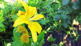 Lírios amarelos no jardim no verão filme
