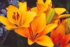Lírios asiáticos dourados na flor completa Fotografia de Stock