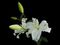 Lírios brancos Foto de Stock