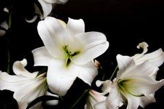 Lírios brancos em um fundo preto fotografia de stock royalty free