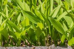 Lírios brancos selvagens do vale ou do poder-lírio com flor verde bonita das folhas na mola fotos de stock
