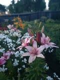 Lírios coloridos da flor fotografia de stock