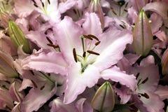 Lírios cor-de-rosa Imagens de Stock