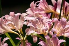 Lírios cor-de-rosa fotos de stock royalty free