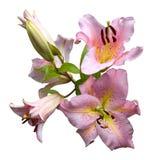 Lírios cor-de-rosa Imagens de Stock Royalty Free