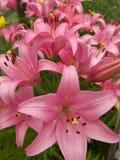 Lírios cor-de-rosa Fotografia de Stock Royalty Free