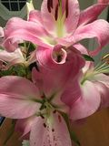 Lírios cor-de-rosa Fotos de Stock