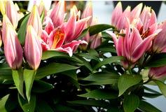 Lírios cor-de-rosa da perfeição Fotografia de Stock