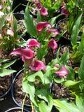 Lírios cor-de-rosa de cala Imagens de Stock Royalty Free