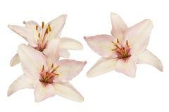 Lírios cor-de-rosa e brancos Imagens de Stock