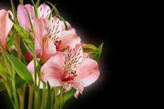 Lírios cor-de-rosa isolados no fundo preto Fotos de Stock