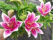 Lírios cor-de-rosa no jardim em um dia de verão fotos de stock