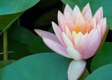 Lírios da flor e de água de Lotus na lagoa foto de stock