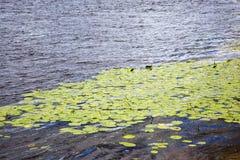 Lírios de água Imagens de Stock Royalty Free