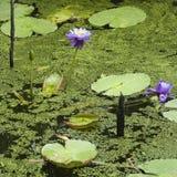 Lírios de água. Imagens de Stock