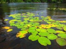 Lírios de água amarela e almofadas de lírio Fotos de Stock Royalty Free