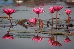 Lírios de água bonitos com reflexão da pétala na água calma Imagem de Stock