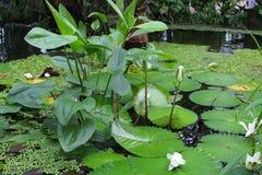 Lírios de água branca nos jardins botânicos, Utrecht, Países Baixos Fotos de Stock Royalty Free