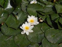 Lírios de água bulgária Jardim botânico Balchik Imagens de Stock