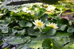 Lírios de água com as folhas na lagoa Fotografia de Stock